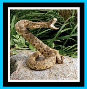 Rattle Snake, venomous snake